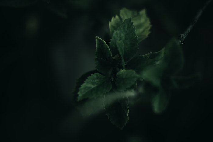 green plant with dark background depicting an herb that grows in shade