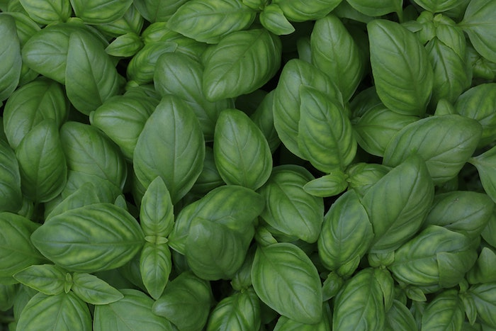 close up picture of basil, an herb that grows in shade