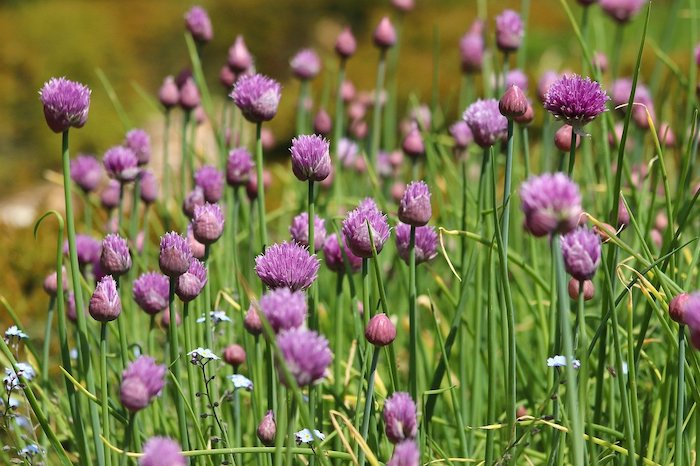 green chives with purple blossoms, another herb that grows in shade