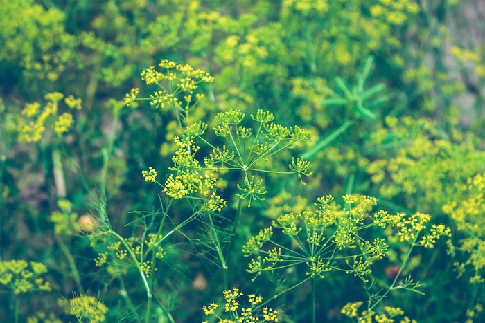 green and yellow dill flower, another herb that grows in shade