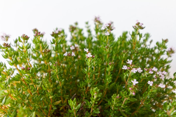the herb thyme with pink blossoms, another herb that grows in shade