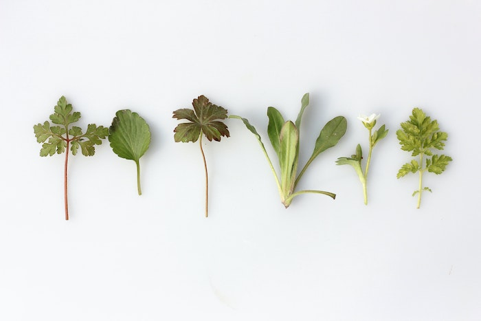 Different types of herbs lying in a row on a white background; several are herbs that grow in shade.
