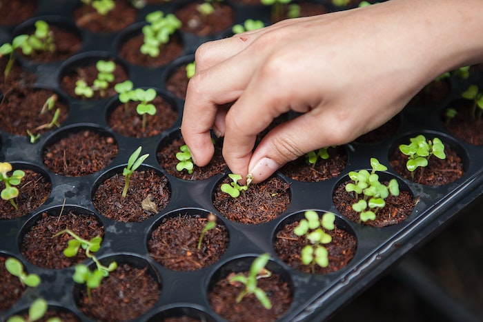 thinning seedlings for vegetables to grow in shade