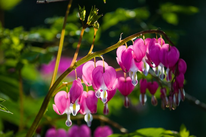 close up of a pink bleeding heart flower growing in shade