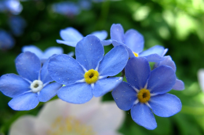 macro picture of blue forget-me-not flower growing in shaded area