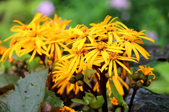 close up of yellow ligularia flowers growing in a shaded area