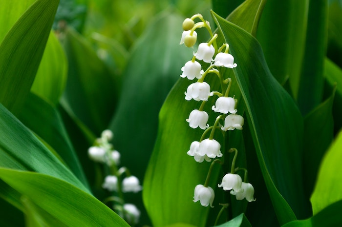 close up of shade-loving lily-of-the-valley plant with delicate white bell-like flowers in dark green foliage